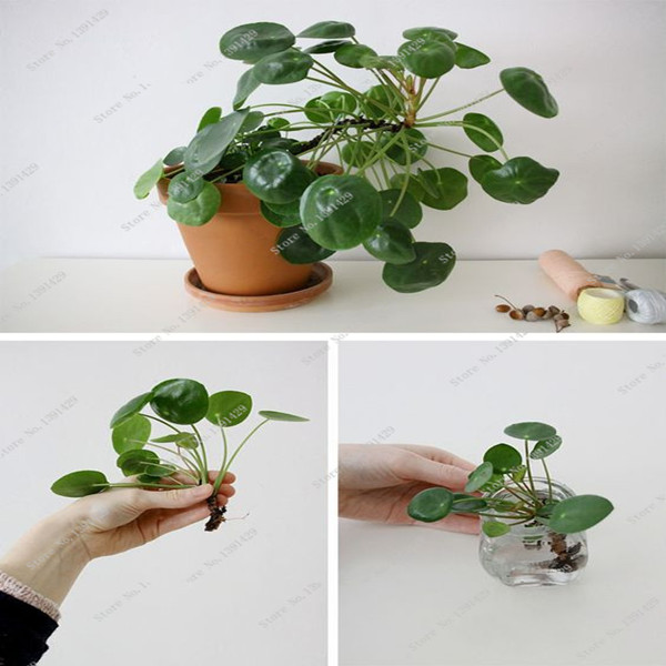 100 pcs Chinese Money Tree Seeds Hanging Water Grass Seed Beautiful Waterfall Plant Bonsai Houseplant DIY Home Garden Decoration
