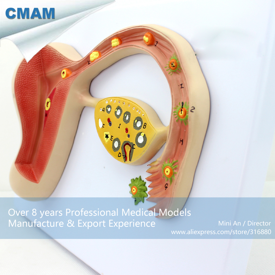 CMAM-ANATOMY16 Human Fertilized Egg Development Anatomical Model,  Medical Science Educational Teaching Anatomical Models cmam dental07 human dental demonstration model of periodontal caries medical science educational teaching anatomical models