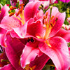 100pcs / bag 24 colors lily bonsai, cheap perfume lilies plant for Garden and home Mixing different varieties 5