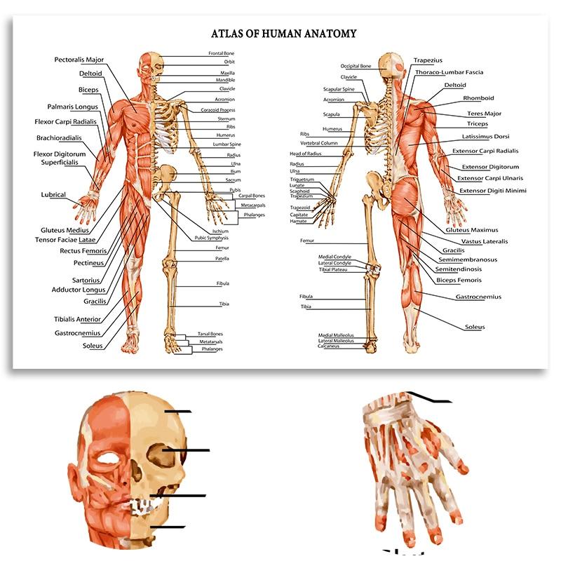 HD Atlas Menschlichen Anatomie Bewegungsapparates Menschlichen ...