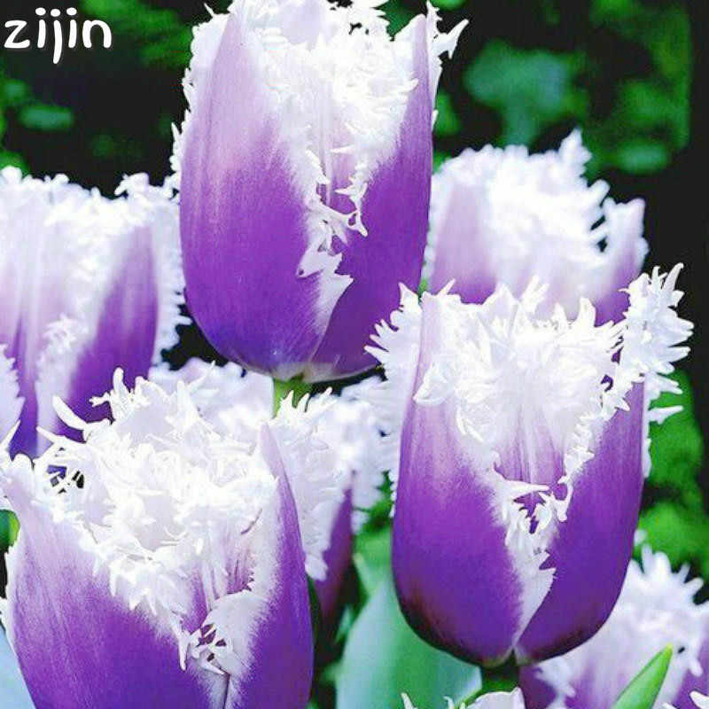 50pcs tulip plants Rare bonsai flower ice cream as beautiful tulips potted perennial home gardens tulip planting