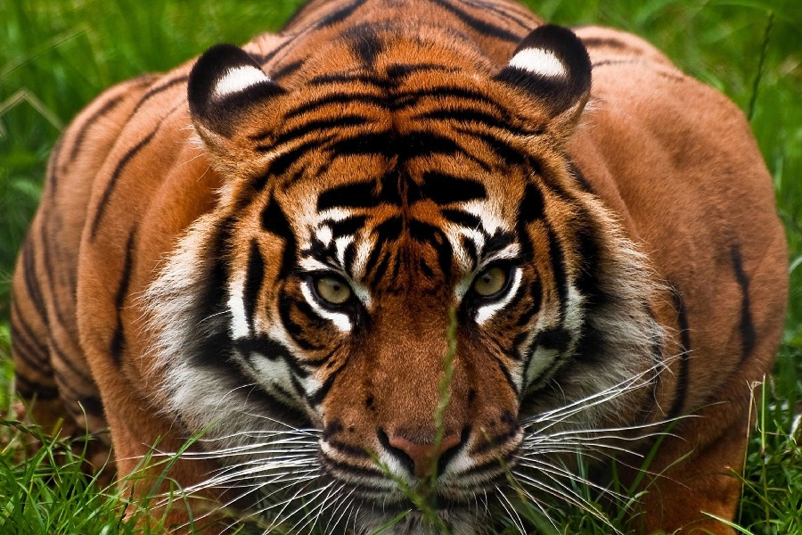 DIY frame tiger face aggression Wild Animal Poster Fabric Silk Posters And Prints For Home Decoration NSSF237