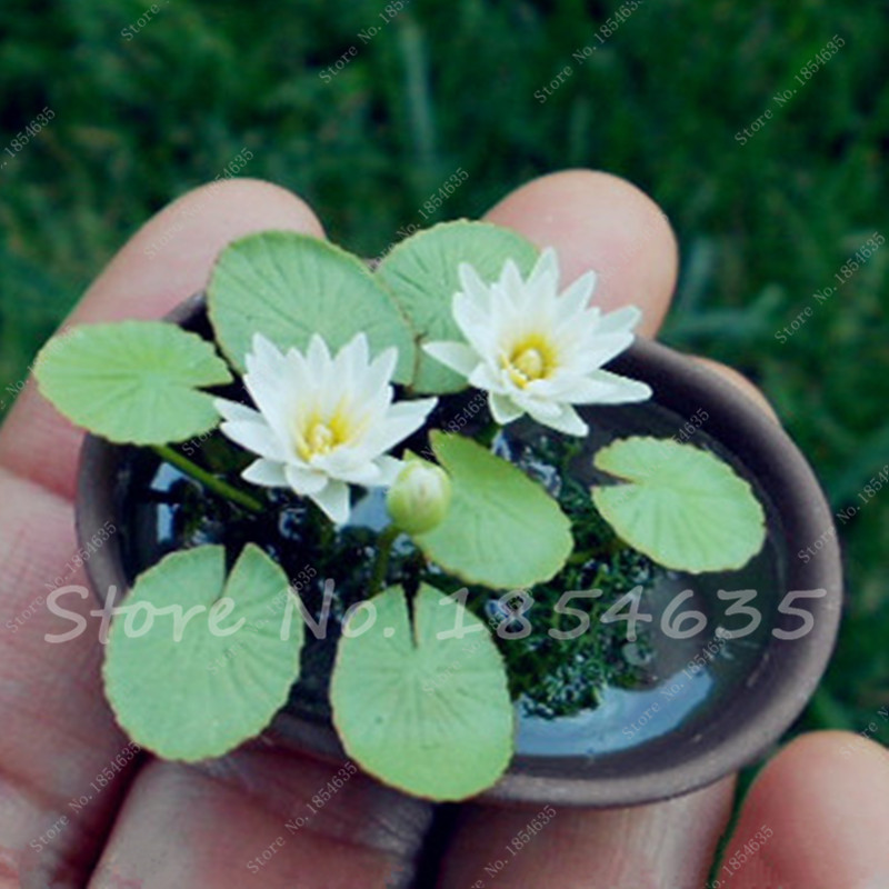 On sale mini lotus seeds lotus water lily seeds for Lotus plant for sale
