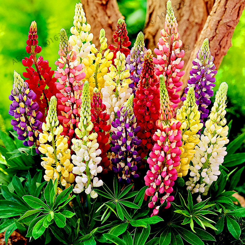 100pcs/bag,Lupine Flores,Colorful Rainbow Ornamental Home And Garden Perennial Flower Hardy Bonsai Plant