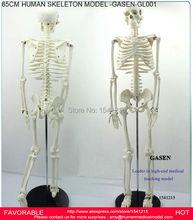 HUMAN SKELETON MODEL ANATOMICAL MODEL MEDICAL TEACHING MODEL MEDICAL HUMAN SKELETON 85CM HUMAN SKELETON MODEL-GASEN-GL001