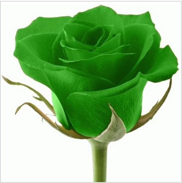 50pcs Green rose seeds Beautiful Flower seeds  rainbow rose seed Bonsai plants Seeds for home & garden