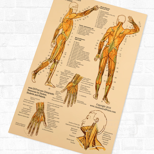 Online Shop Spinal Anatomy Acupuncture Body Muscle Clear Detail