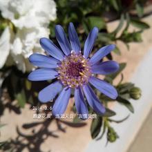 В голубые дейзи 20 шт. Felicia Heterophylla синий карлик харди филиал секс хорошо комнатные могут быть покрыты