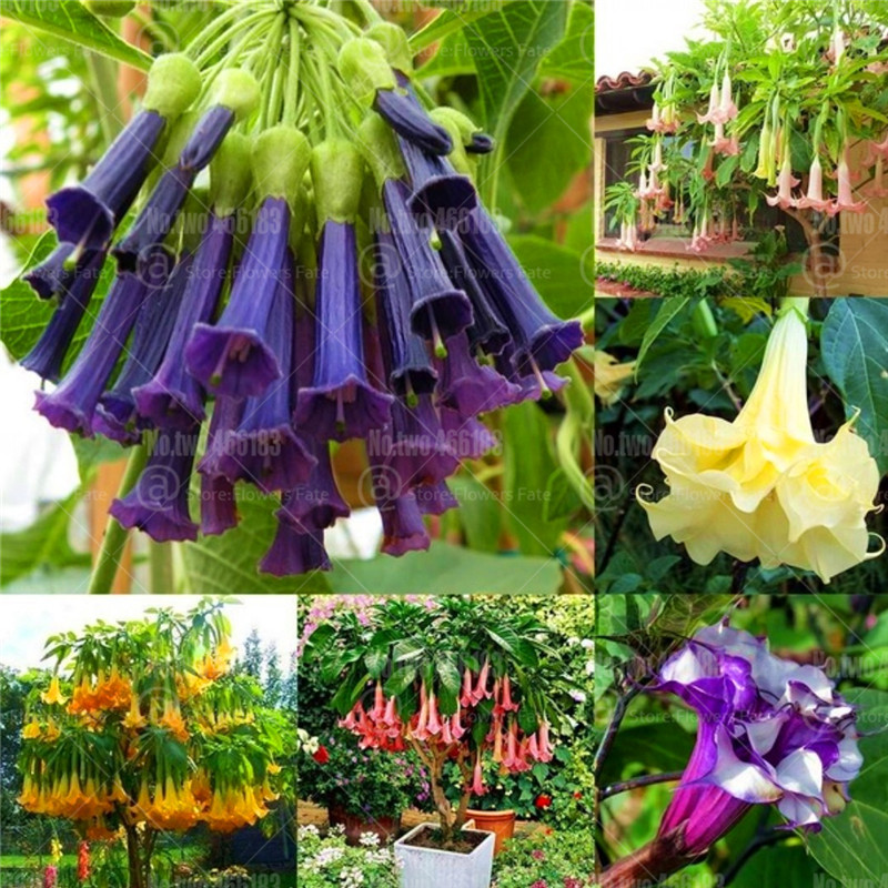 100Pcs Datura Brugmamsia Bonsai Mandala Flower Bonsai Tree Plants Trumpets Angel Flowers Datura Stramonium Garden Potted Plant