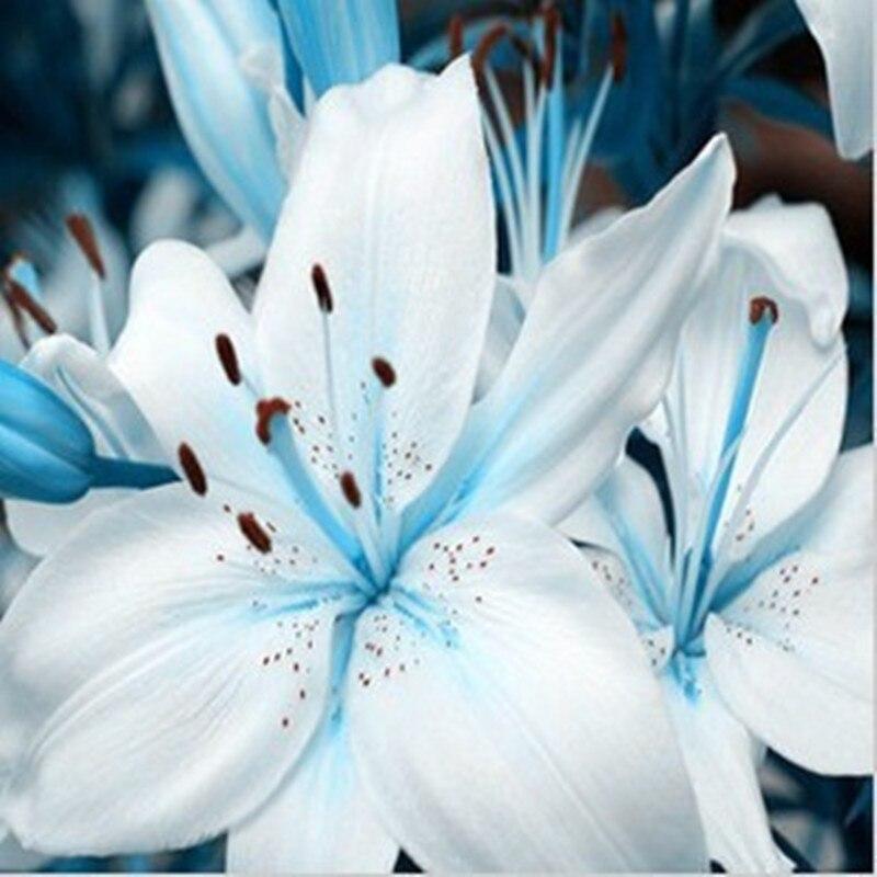 Лилии семена