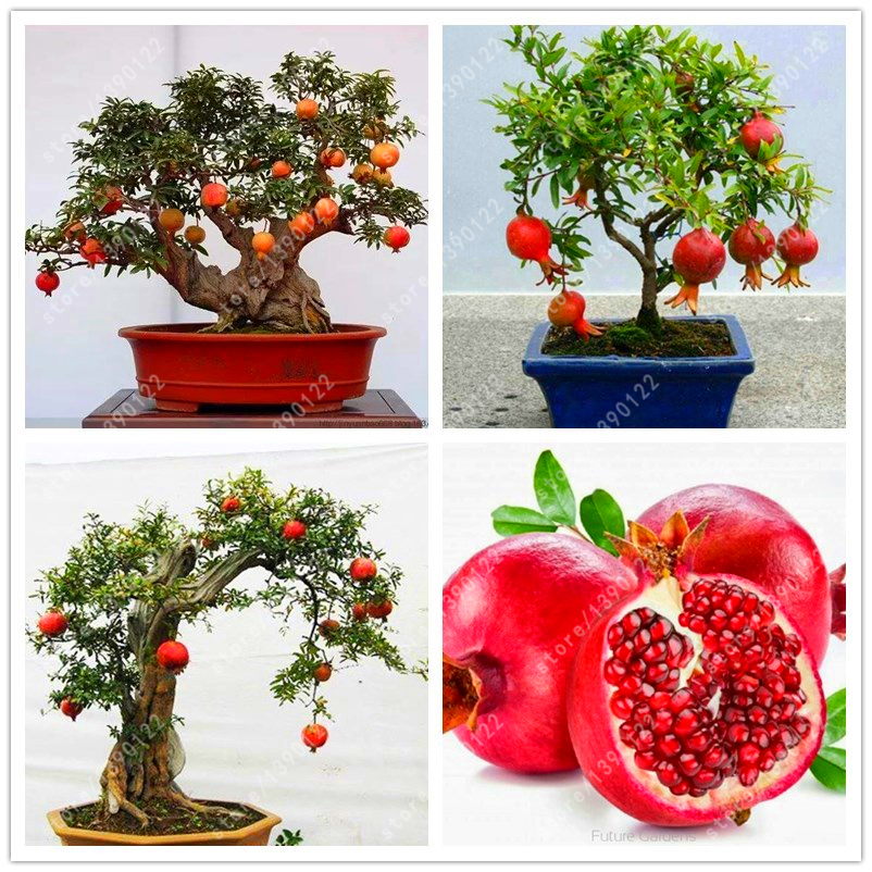 popular pomegranate treesbuy cheap pomegranate trees lots from, Natural flower