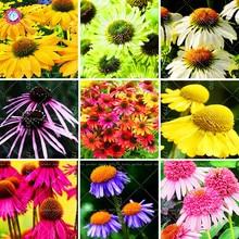 50pcs / τσάντα Echinacea purpurea σπόροι 9 Είδος του χρώματος σπάνιοι σπόροι λουλουδιών Πολυετή χρυσάνθεμο φυτά χρυσάνθεμα για τον κήπο του σπιτιού
