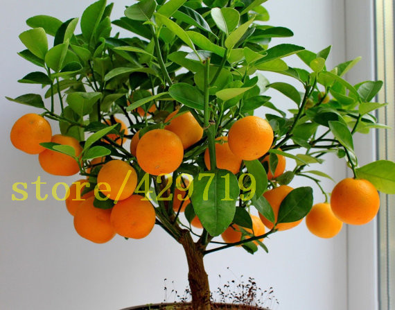 20 Pcs Bonsai Orange Seeds NO GMO Mini Bonsai Tree Balcony Patio Potted Fruit  Trees