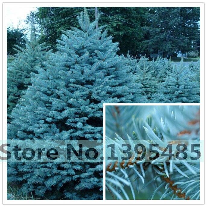 60 quality  Blue Spruce  Tree...