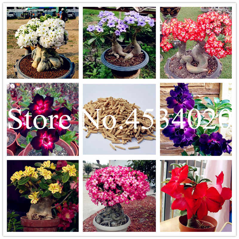 5 Pcs Desert Rose flores Potted Flowers plantas Adenium Obesum Indoor Bonsai Plant Mini Potted Tree For Home Garden Plants