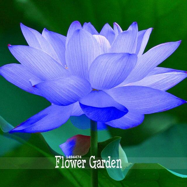 Best Selling!1 Seed / Pack, Blue Nelumbo Nucifera China Beautiful Lotus Pad