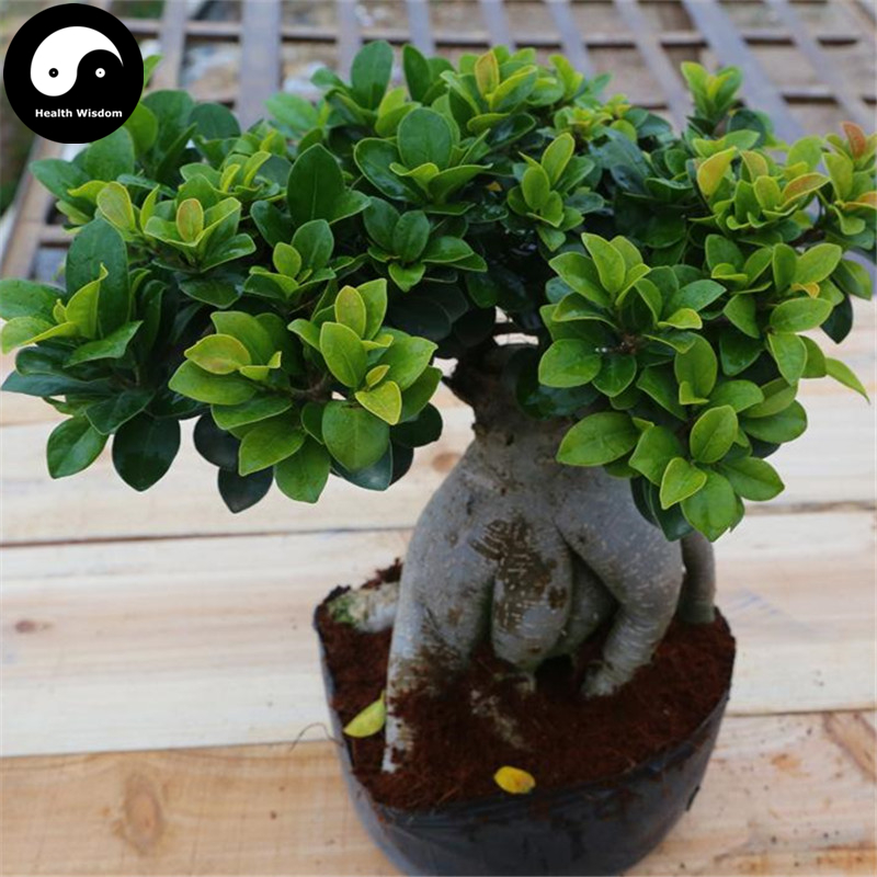 Buy Ficus Microcarpa Tree Seeds 50pcs Plant Roots Ginseng Ficus ...