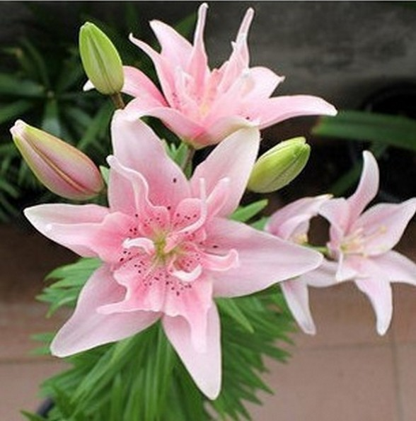50pcs Perfume Lily Seeds+ SECRET GIFTS, Flower Germination 99% Creepers  Bonsai DIY Garden Supplies Pots Planters
