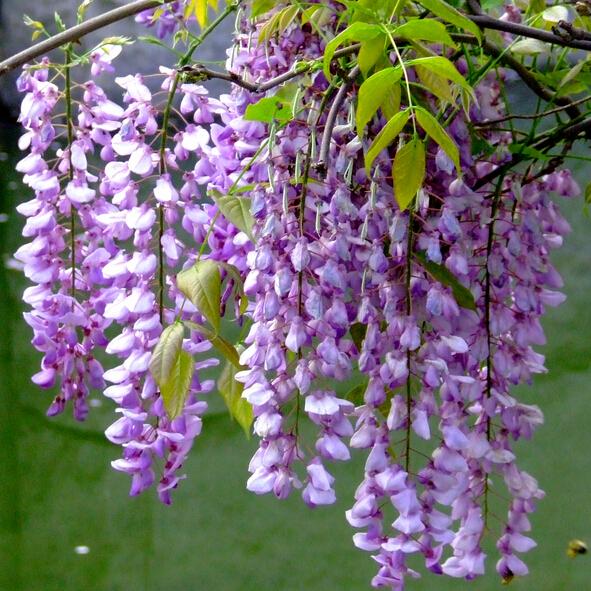 Bonsai Wisteria Tree Seeds, 10pcs/pack
