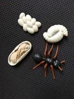 pvc figure Genuine simulation model toy ant life cycle set