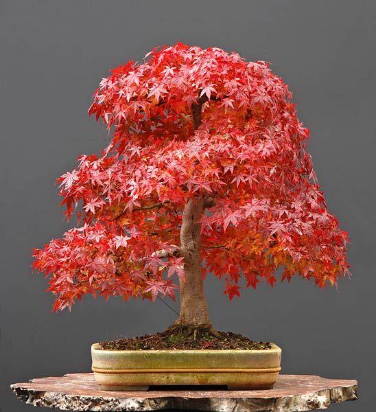 Scarlet maple tree promotion shop for promotional scarlet - Arce rubrum bonsai ...