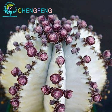Japanese Best-selling Rare Succulents Seeds About 50pcs Cactus Seeds Rare Flower Sementes Bonsai Seeds Indoor Plants Flowers pot