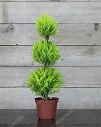 100pcs Blue Cypress Trees plants Rare Platycladus Orientalis Oriental Arborvitae plants Conifer plants DIY Home Garden - 3326-93473d.jpg