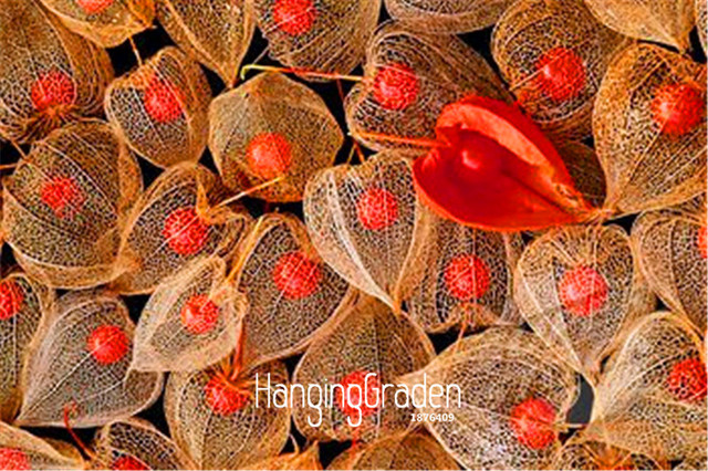 100 cái/gói Bán! Physalis Trung Quốc Đèn Lồng bonsai Plantas cho nhà & vườn nhà máy trong nhà hoa Flores