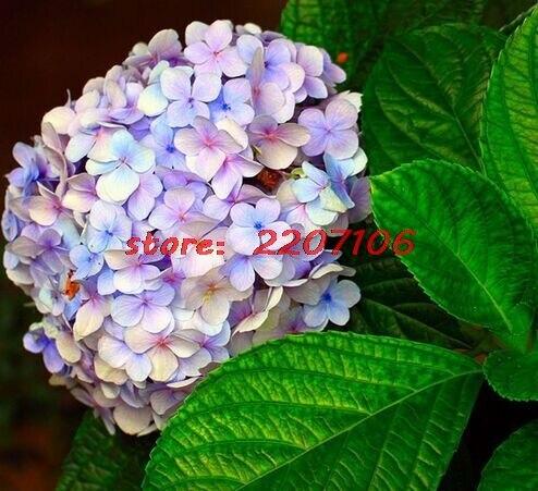 rare color hortensia flor home garden bonsai semillas orgnicas de embellecer el medio ambiente