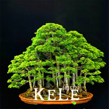 100Pieces/bag juniper bonsai tree Plants potted flowers office bonsai purify the air absorb harmful gases,#HH8CSV