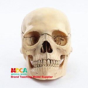 Image 4 - 1:2 Lifesize Human Skull Model True colors Medical teaching equipment 15 Parts Anatomical Anatomy Skeleton Model