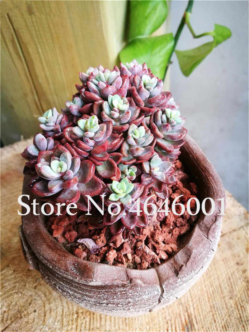 בונסאי 100 יחידות אקזוטי קשת בשרניים צמחים חיים אבן בונסאי בית גן קישוט סיר פרח פלורס ספיגת קרינה