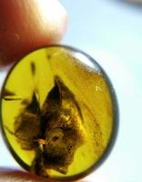 Cretaceous rare unknown shell like item burmite Myanmar Amber insect 100 million years lynx stone mens ring surface accessory