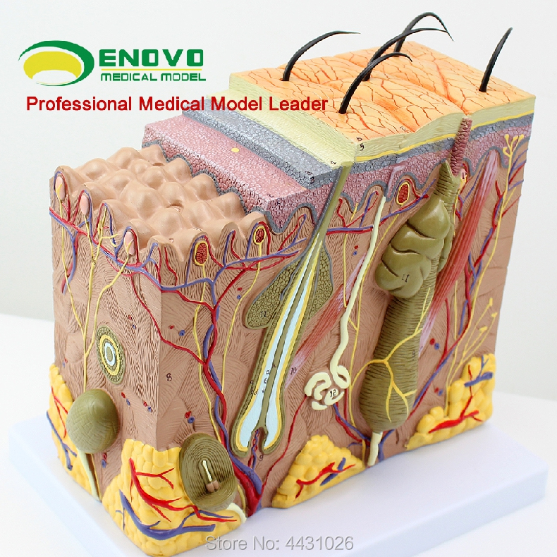 ENOVO The enlarged version of human skin tissue anatomy model minimally invasive skin cosmetic surgery teaching vivid anatomical skin block model enlarged skin section model human skin model