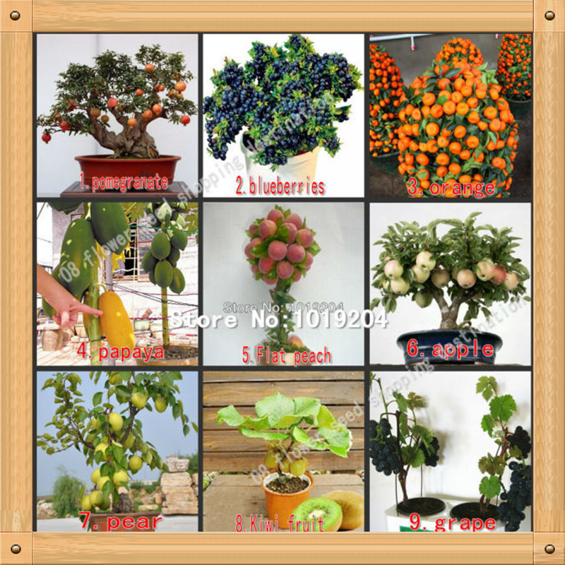 compare prices on pomegranate tree plant online shopping/buy low, Natural flower