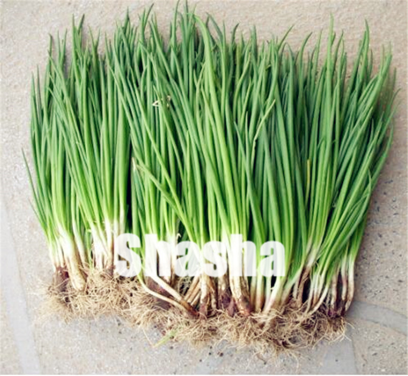 2000 Pcs/bag Chinese Green Onion Bonsai,fragrant Tasty Green Vegetable,Cooking Spices For Home And Garden Planting