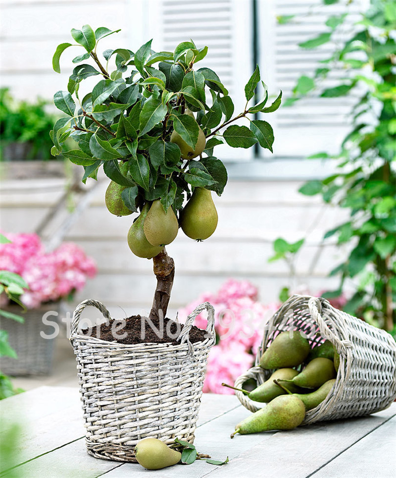 50 Pcs Exotic Original Pear Bonsai Fruit Rare Garden Plant For Flower Pot Planters Bonsai Tree Quality Seedsplants Fruit Potted