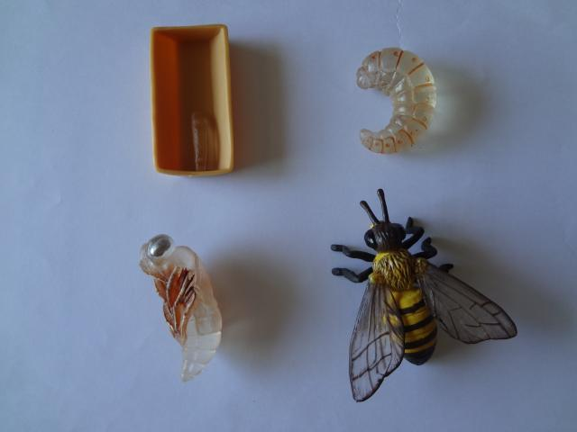 Pvc Figure Genuine Simulation Model Toy Bee   Life Cycle Set