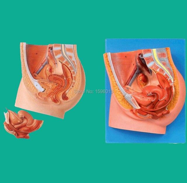 Median Section Of Female Pelvis Model Anatomy Female Pelvis Model