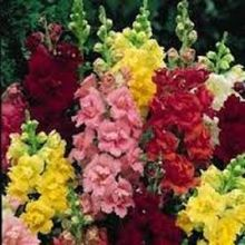 30+seeds/pack ANTIRRHINUM SNAPDRAGON PALETTE MIX FLOWER SEEDS / LONG LASTING PERENNIAL