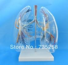 Model of the Transparent Lung Segment,Transparent Lung Segment Model
