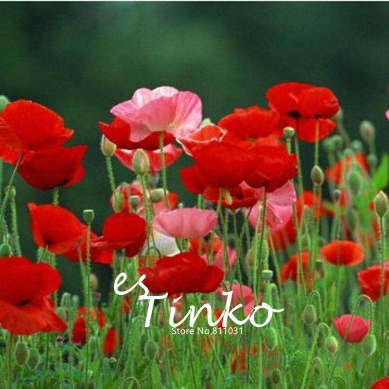 50pcs Oriental Poppy Flowers, Flower Seeds Potted Flowers Varieties of Seeds Balcony Corn Poppy Seeds Bonsai Home Garden