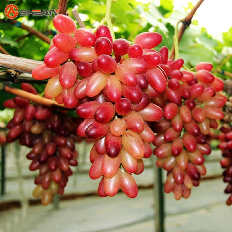 Achetez en gros la plantation de raisin graines en ligne des grossistes la plantation de - Graine de pasteque sans pepin ...