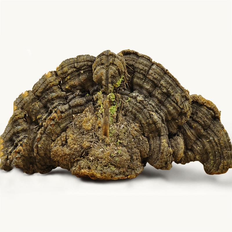 Wild Phellinus Pini Reishi Mushroom 100% Natural Paekdusan Chinese Medicine Herbs Anti-cancer Health Lingzhi Herbal Tea 8069-35