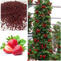 Red Climbing Strawberry Seeds, Garden Fruit Plant, Sweet And Delicious outdoor plant  100pcs AA