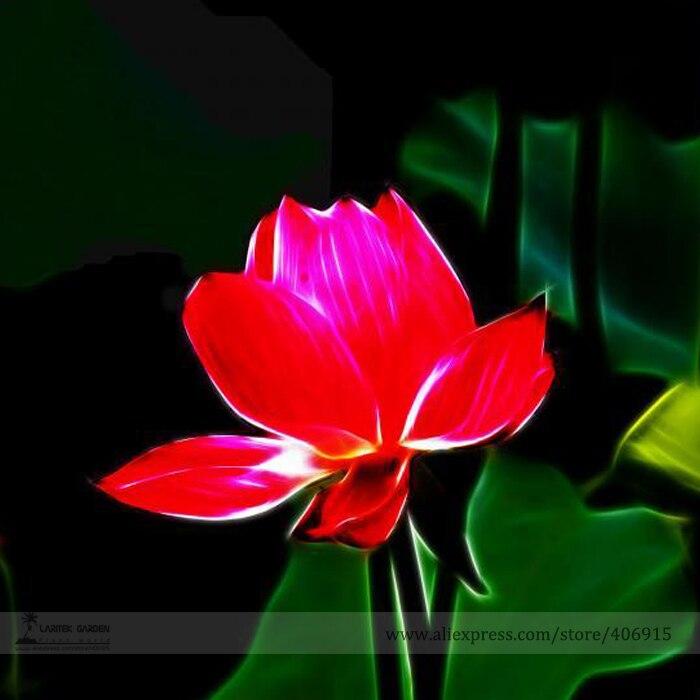 Bellfarm Bonsai Heirloom Super Red Nelumbo Nucifera Lotus Flower