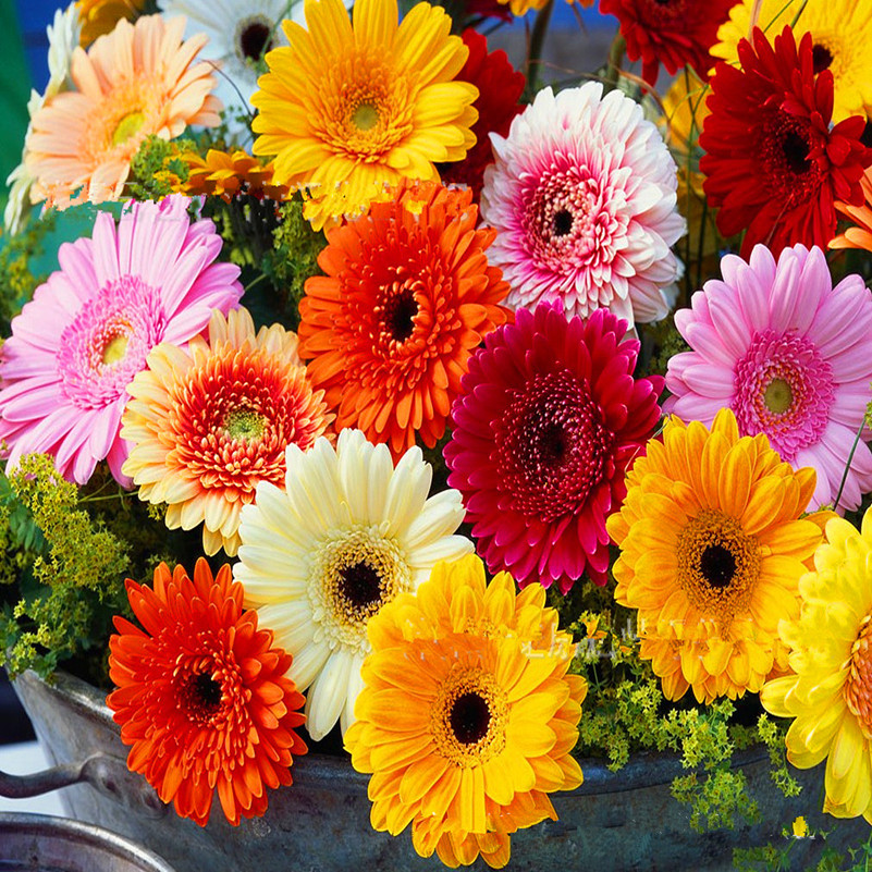 Popular Gerbera Flower Seeds-Buy Cheap Gerbera Flower Seeds lots ...
