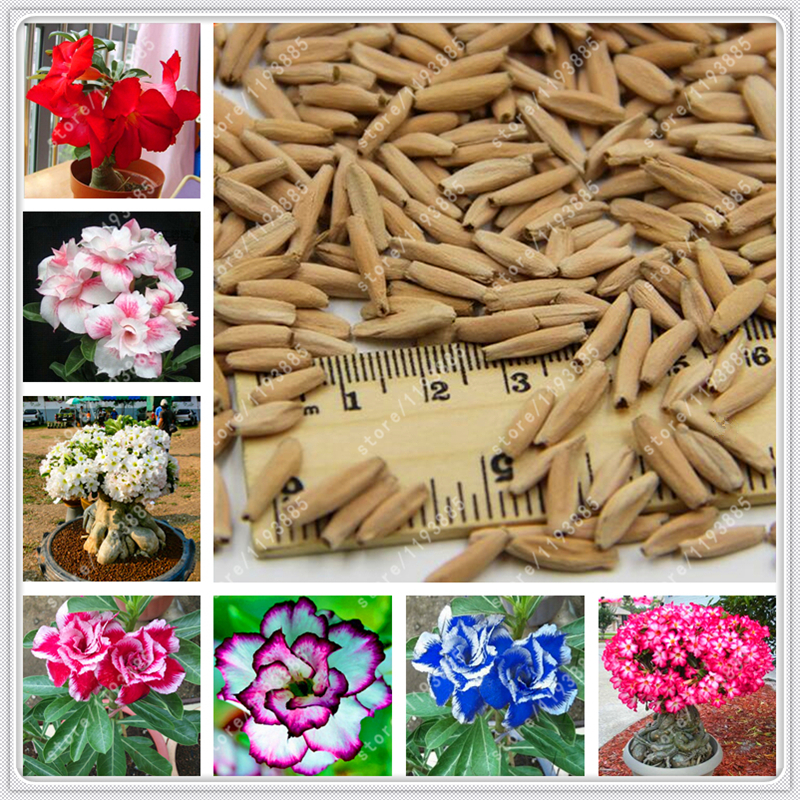 100% True Adenium Obesum Seeds Desert Rose Seeds Garden Home Bonsai Balcony Flower seeds ...