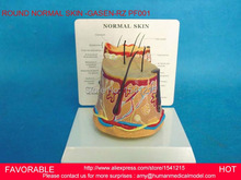 HUMAN ANATOMICAL SKIN SUBCUTANEOUS TISSUE DISSECTION MEDICAL TEACHING MODEL,ANATOMY MODEL ROUND NORMAL SKIN -GASEN-RZPF001