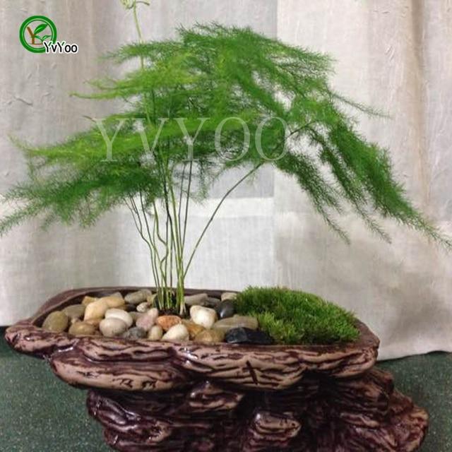 Compre 30 vasos de sementes de bambu - Enredaderas de interior ...